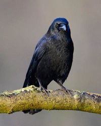 Carrion Crow, taken East Stockwith area January 2014