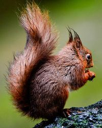 Damp Red Squirrell, taken North Yorks Moors February 2014