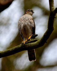 Female Sparrowhawk too, taken in the Owlets February 2014