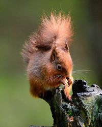Red Squirrell, taken North Yorks Moors February 2014