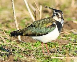 Lapwing, Green Plover near East Stockwith.