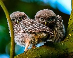 Pair of young Little Owls taken July near Walkerith