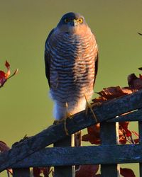 Female Sparrow Hawk taken at East Stockwith January 2014.