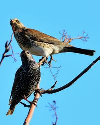 Fieldfare and Starling together, taken at Carr Lane, East Stockwith January 2014.