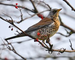 Fieldfare taken at Carr Lane, East Stockwith January 2014.