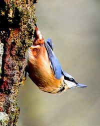 Nuthatch in typical pose.