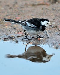 Pied Wagtail taken at Carr Lane, East Stockwith.