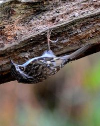 Tree Creeper looking for food under a rotten branch. Taken at The Owlets.