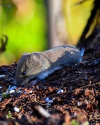 Cute Woodmouse (if you like that sort of thing) taken at The Owlets December 2013.