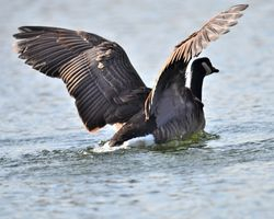 Canada goose exercising its wings.