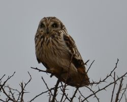 Short eared owl taken at East Stockwith.