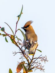 Waxwing taken in Bottesford Scunthorpe.