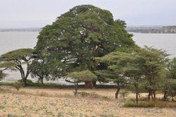 Sycamore and Acacia Trees
