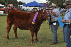 Grand Champion Led Steer Kingaroy Limousin Feature Show 2010