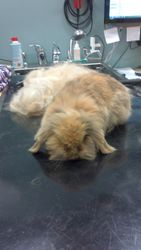 Teddy Hangoor konijntje na.