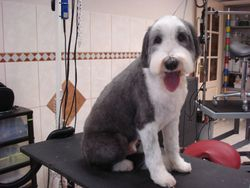 Bearded Collie na.