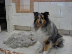 Schotse Collie Jason verlost van al zijn wol.