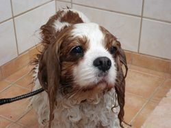 Cavalier King Charles Spaniel in bad.