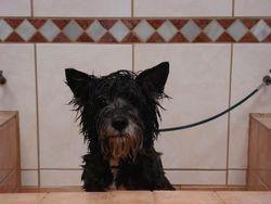 kr.Cairn Terrier in bad.