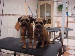 Border Terriers na het trimmen.