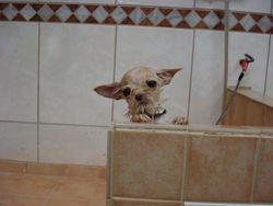 Chihuahua kruising Kyra.