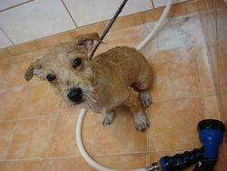 kr.Chihuahua pup Max.