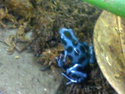 3 Month old auratus
