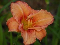 Leebea Orange Crush
