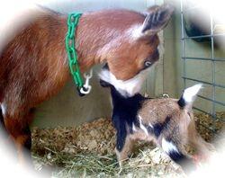 Mama Bambi Inspects