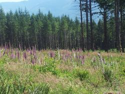 Lupine in meadow Harry Osborne