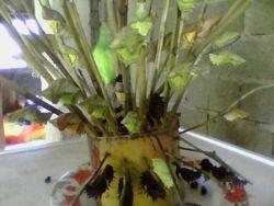 Troides rhadamantus pupae