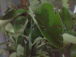 Papilio rumanzovia larvae