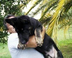East German Shepherd Pups