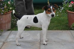 Class 1. Dog Pup (6-12 months) 10-12.5 ins