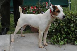 Class 6. Smooth Dog 12.5 - 15 ins