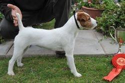 Class 13. Bitch Pup (6-12 months) 12.5 - 15 ins