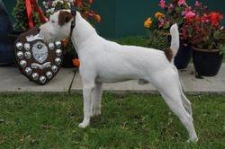 Class 4. 12½-15? Dog Puppy (6-12 months)