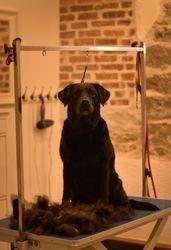 Labradori retriiver Ruby
