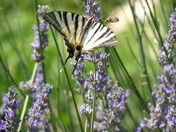 Konkurenca pri nektarju