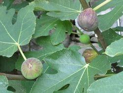 Sladke fige