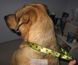 Dew modelling his martingdale collar