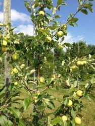 Norkent apple