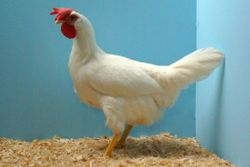 White Lge Female