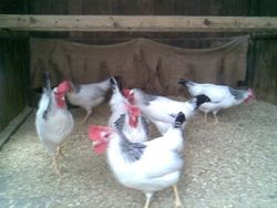 Columbian pullets