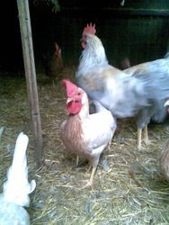 mixed pullets