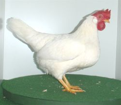 Res Champion White Bantam