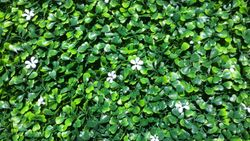 Buxus with sn=mall white flower