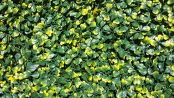 Buxus Varigated