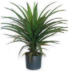 Plant medium Yucca Head