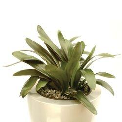 Clivia Hybrid